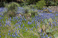 Yucca and bluebonnets provide beautiful landscapes in the Texas Hill Country
