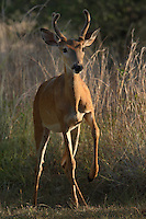 Young buck taking his first step, at first light. Central Texas Hill Country.