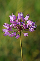 Berg-Lauch, Berglauch, Allium lusitanicum, Allium montanum subsp. lusitanicum, Allium senescens ssp. montanum, mountain garlic, Ail des collines