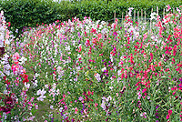 Sweetpeas Lathyrus odoratus 'Old Fashioned Mixed' in mass growing, variety of colors, vines climbing in garden use, cutting use market garden