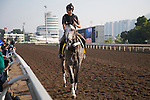 SHA TIN,HONG KONG-DECEMBER 09: Pure Sensation,trained by <br /> Christophe Clement,exercises in preparation for the Hong Kong Sprint at Sha Tin Racecourse on December 9,2016 in Sha Tin,New Territories,Hong Kong (Photo by Kaz Ishida/Eclipse Sportswire/Getty Images)