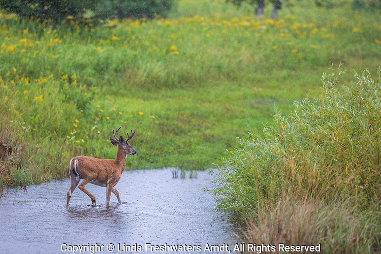 A Wisconsin white-tailed buck walks through a flooded field on a rainy August afternoon.