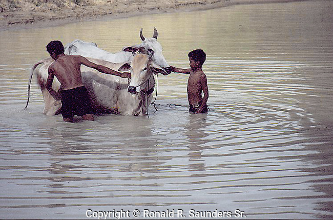 Livestock are domesticated animals raised in an agricultural setting to produce commodities such as food, fiber and labor.<br />