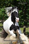 Bob, ANIMALS, REALISTISCHE TIERE, ANIMALES REALISTICOS, horses, photos+++++,GBLA4411,#a#, EVERYDAY