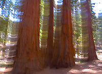A MOVING CAMERA GIVES MOTION TO A STAND OF SEQUOIA TREES IN SEQUOIA NATIONAL PARK, CALIFORNIA