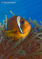 0320-1111  Clark's anemonefish (Yellowtail clownfish), Amphiprion clarkii, with Bulb-tipped Anemone, Entacmaea quadricolor  © David Kuhn/Dwight Kuhn Photography.