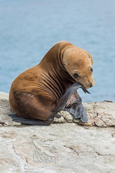 California sea lion (Zalophus californianus) pup.  Central California Coast.