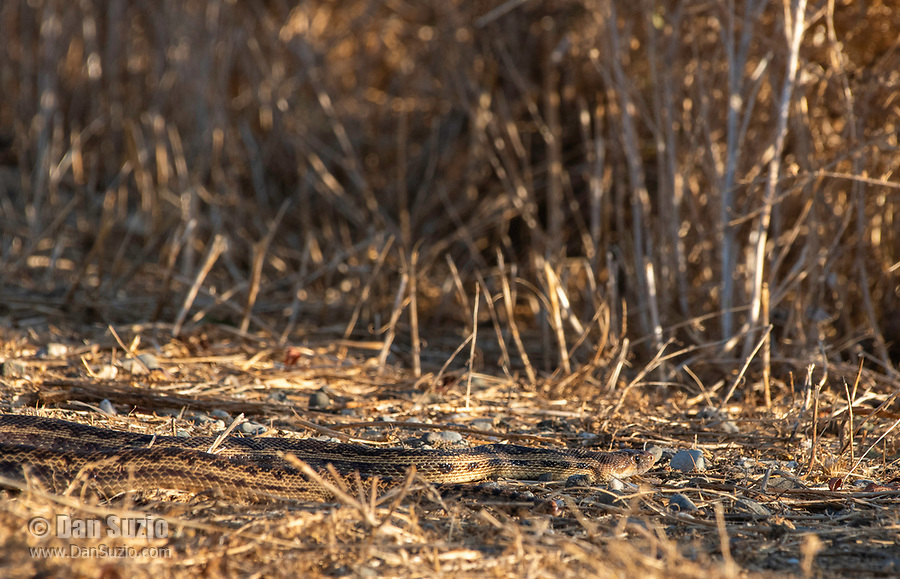 Pacific Gopher Snake, Pituophis catenifer catenifer, in Sacramento National Wildlife Refuge, California