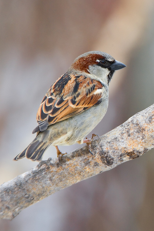 House sparrow perched on a branch