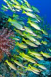 School of Bigeye snappers, Lutjanus lutjnus, Raja Ampat, West Papua, Indonesia, Pacific Ocean