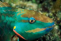 Stoplight parrotfish, Sparisoma viride, Silver Caves, Lighthouse Reef, Belize, Caribbean, Atlantic, Caribbean, Atlantic