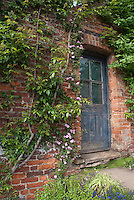 Roses climbers on brick house next to rustic weathered blue old door ( Rosa)  for a charming garden scene in late May or early June