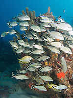 A School of Cottonwick Grunts near a coral reef ledge.