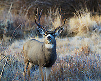 Mule deer bucks behave differently during the rut, often ignoring danger in persuit of favorable does.  This fellow was following several females and seemed more annoyed by my presence than spooked.