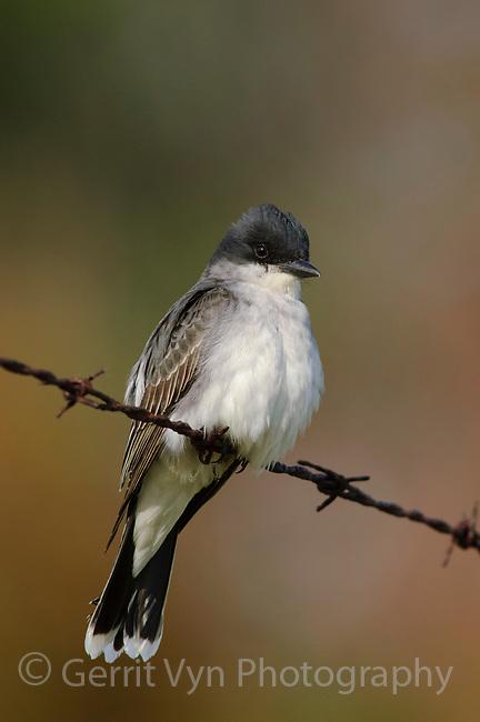 Adult Eastern Kingbird (Tyrannus tyrannus). Tompkins County, New York. May.