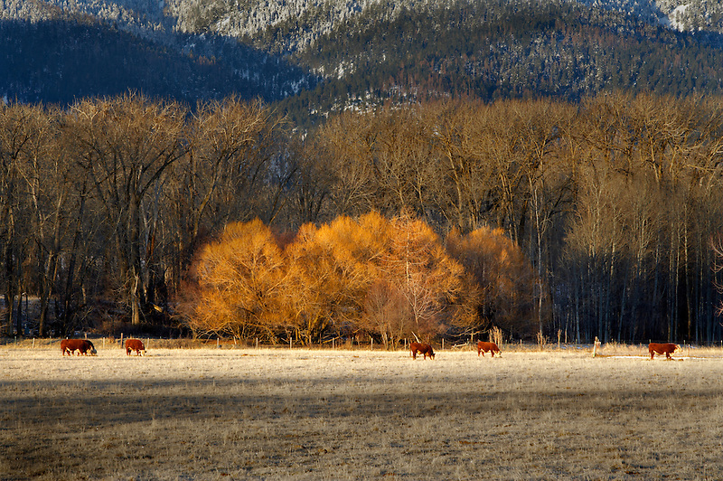 Pasture, cows and Elkhorn Range in winter. Blue Mountains. Oregon