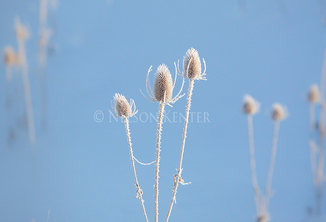 Bare flower heads of the teasel plant covered with frost on a winter morning in Montana