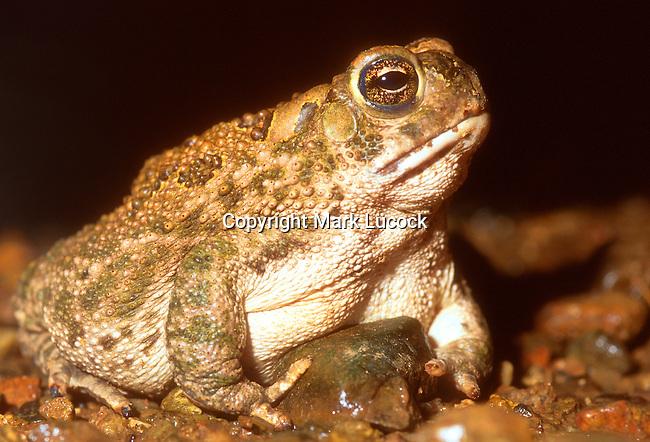 Plains Toad; Toad, Bufo cognatus, US