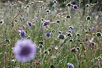 Field Scabious (Knautia arvensis) in early moring light. Mountain meadow. Nordtirol, Austrian Alps, Austria, July.
