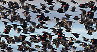 Can you spot the anomaly among this flock of Red-winged Blackbirds? In the back you'll see a leucistic individual, mostly white and cream colored except for the red spots on the wings.