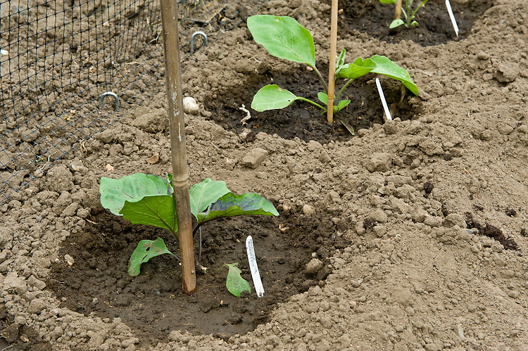 Newly planted out aubergine seedlings, mid May.