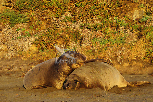 Northern Elephant seals (Mirounga angustirostris)--bull courting cow.  California.  Winter.