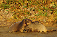 Northern Elephant seals (Mirounga angustirostris)--bull courting cow.  California.  Winter.