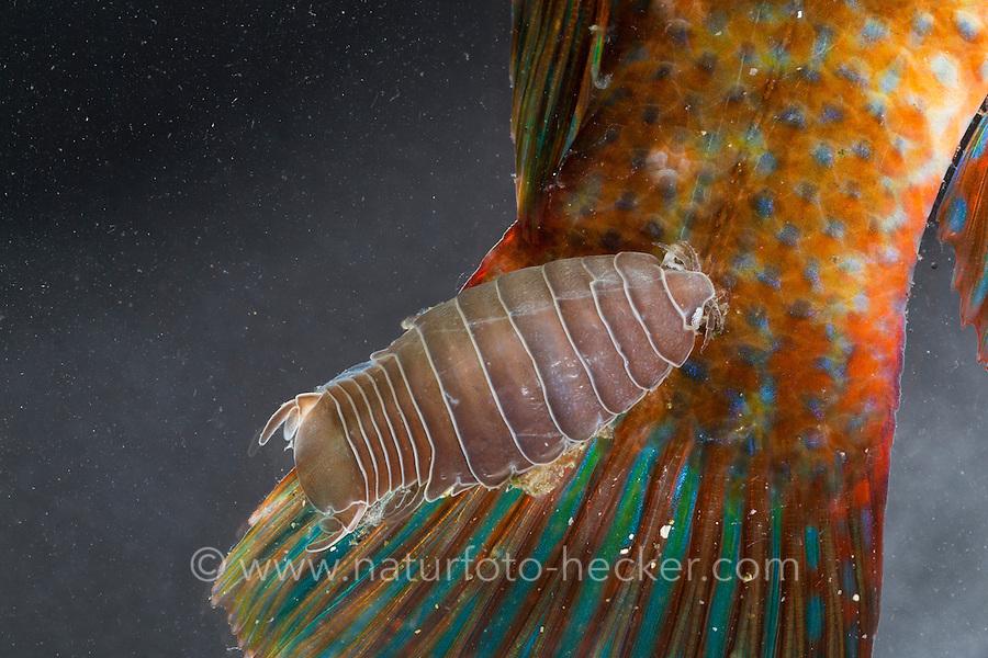 Fischassel, parasitiert an einem Lippfisch, Fisch, Goldmaid, Fischlaus, Fischfloh, Anilocra spec., fish-flea, fish louse, parasitic fish isopod, Anilocre, Poux de poisson, poux marin, Fischasseln, Cymothoidae. Parasit, Parasiten, Parsitismus, Fischparasit, Ektoparasit, Ektoparasiten, parasite, parasites, parasitism