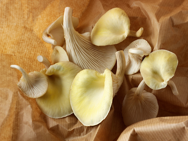 Fresh picked edible yellow or golden pyster mushrooms (Pleurotus citrinopileatus)