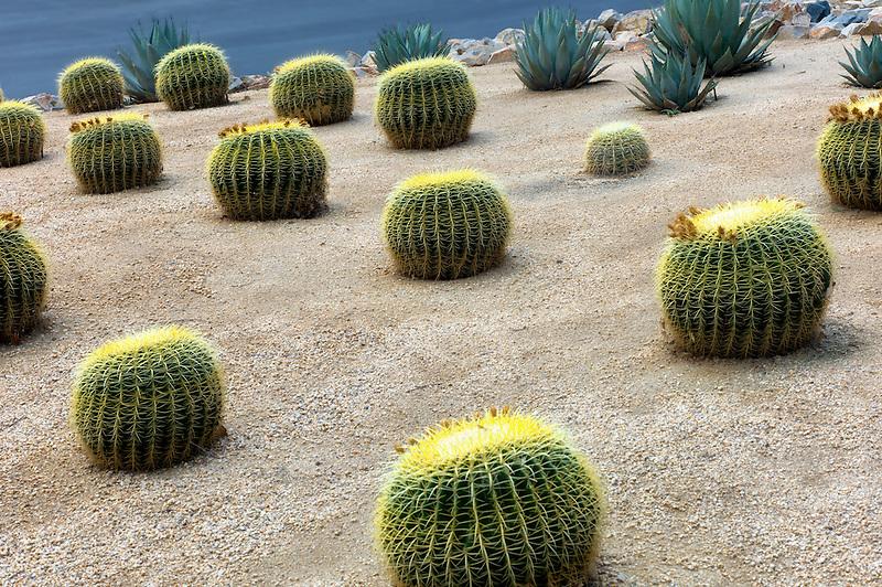 Golden barrell cactus garden. Palm Springs, California