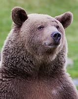 Grizzly Bear portrait - CA