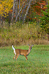 White-tailed fawns in autumn