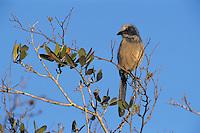Florida Scrub-Jay, Aphelocoma coerulescens , adult, Sarasota, Florida, USA