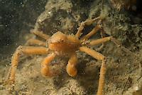 A scorpion spider crab (inachus dorsettensis) underwater at night.