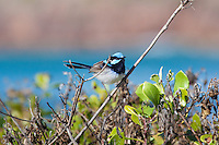 Superb Fairy-Wren, Tomaree NP, NSW,  Australia