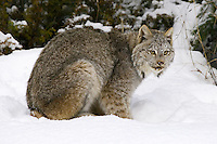 Canada Lynx sitting and watching in the snow - CA