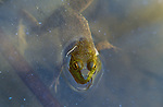 North American bullfrog, Sacramento National Wildlife Refuge Complex, California, USA