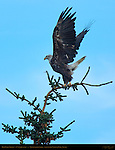 Bald Eagle Takeoff, 4th Year Juvenile, Silver Salmon Creek, Lake Clark National Park, Alaska