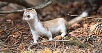 One of the highlights of these trips was seeing a weasel in transition from its brown summer coat to its white winter coat.