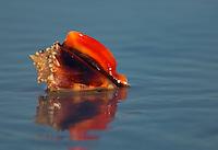 Florida Fighting Conch (Strombus alatus) shell