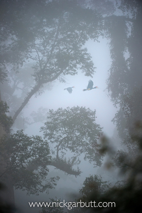 Pair of Rhinoceros Hornbill (Buceros rhinoceros) flying over the canopy with mist hanging over lowland Dipterocarp rainforest. Heart of Danum Valley, Sabah, Borneo (digitally modified image).