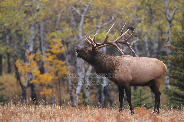 Elk, Wapiti (Cervus elaphus), bull bugling, Jasper National Park, Alberta, Canada