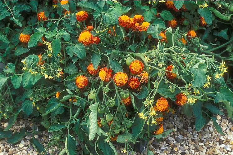 Tomato + Tagetes marigold companion planting of vegetable and flowers together