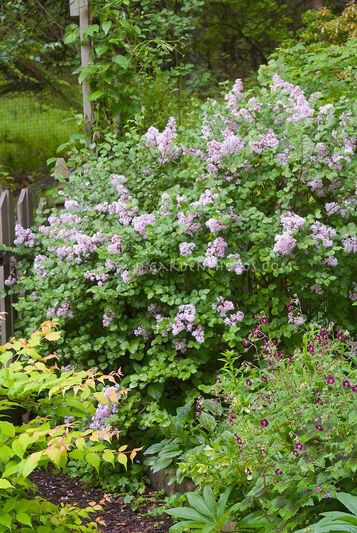 Syringa Palibin littleleaf lilac shrub in spring bloom with Kolkwitzia Dreamcatcher and Geranium phaeum Samobor in flower, garden scene combination of shrubs, perennials, flowers, foliage