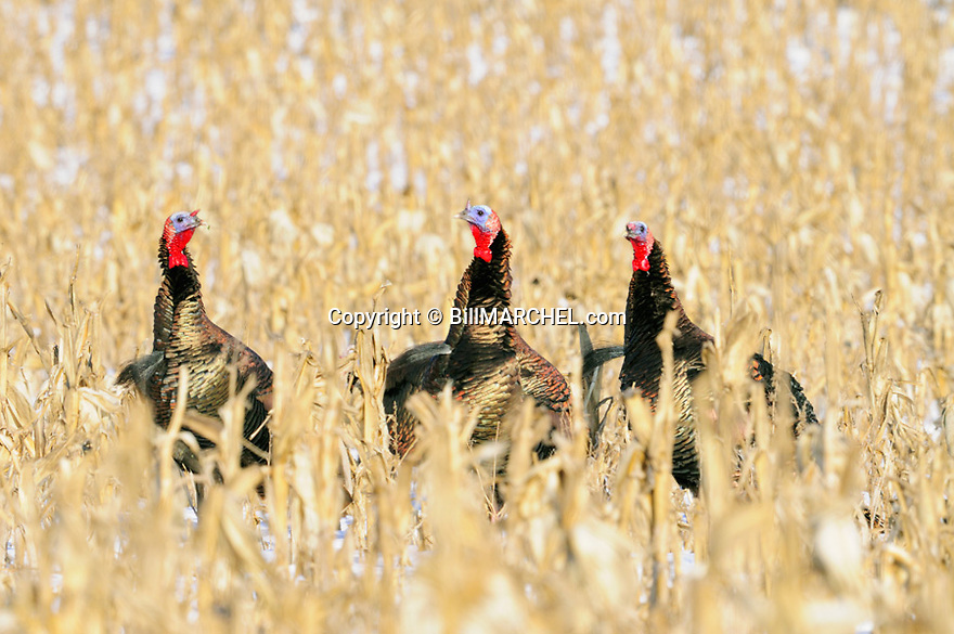 01225-10519 Wild Turkey:  Three toms are feeding in corn field during winter.  Survive, food, cold.