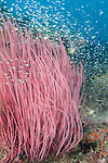 Tanjung Papisoi, Indonesia; a school of glass fish swimming over and amongst a large red sea rod