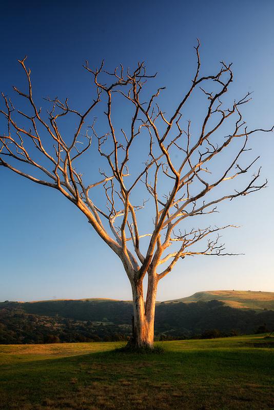Lone leafless Monkey Pod tree at sunrise. Hawaii, Island.