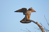 Merlin (Falco columbarius), adult landing, Sinton, Corpus Christi, Coastal Bend, Texas, USA