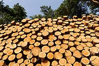 GERMANY, Plau, forest / Wald, Forstwirtschaft, gefällte Nadelbäume, Kiefer