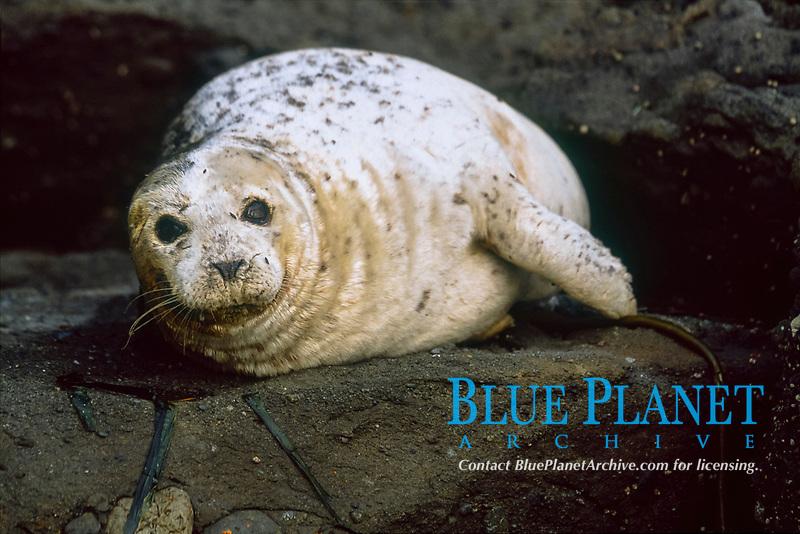 Harbor Seal (Phoca vitulina) hauled out of the water and resting, San Juan Islands, Washington, USA, Pacific Ocean